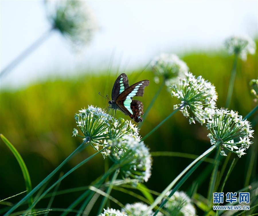 9월 24일 상해시 송강구 논밭에서 촬영한 나비<br/>  사진 촬영/신화사 기자 장건송(張建松)