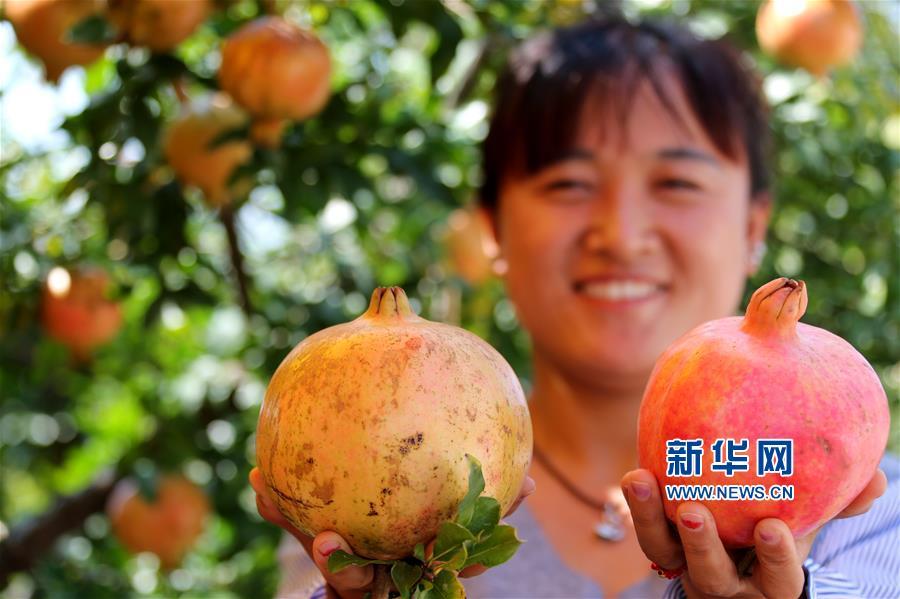 <br/>  眼下,山东省枣庄市峄城石榴园的18万亩石榴迎来了收获时节,预计今年石榴产量可突破8000万公斤。<br/>
