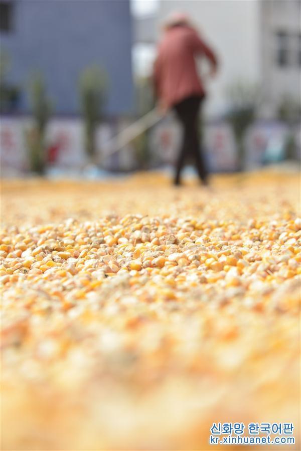 9월 26일, 산둥(山東)성 랴오청(聊城)시 츠핑(茌平)현 자짜이(賈寨)진 첸짜이(前寨)촌 주민이 옥수수를 말리고 있다. 풍년의 황금가을을 맞은 농민들은 곡식 말리기에 바쁘다. [촬영/신화사 기자 자오위궈(趙玉國)]<br/>