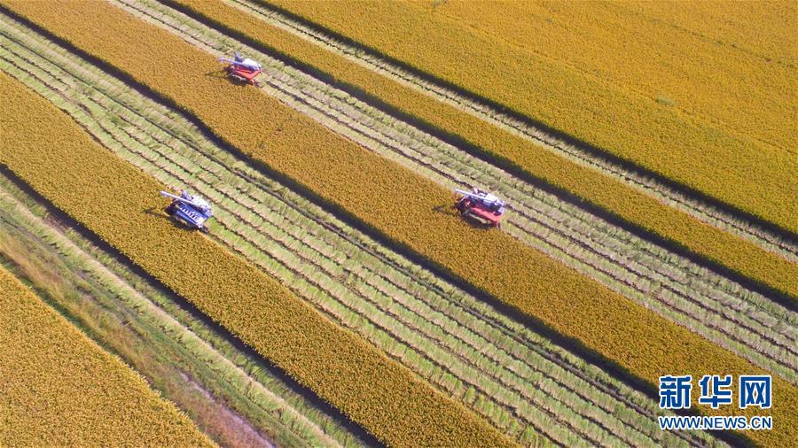 10月10日,郯城县洪伟农机化服务农民专业合作社农机手驾驶收割机收获&amp;ldquo;股份水稻&amp;rdquo;(无人机拍摄)。<br/>