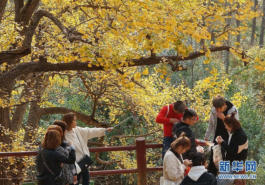 <br/>   11月1日,游客在河南省嵩县白河乡下寺村古银杏树下拍照赏景。