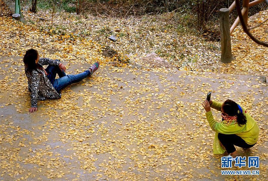 11月1日,游客在河南省嵩县白河乡下寺村古银杏树下拍照。 深秋时节,河南省嵩县白河乡下寺村的古银杏林为小山村披上了&amp;ldquo;金甲&amp;rdquo;。漫天黄叶,遍地金色,一幢幢民居掩映在色彩斑斓的世界里,美不胜收,吸引了众多游客赏景拍照。<br/>