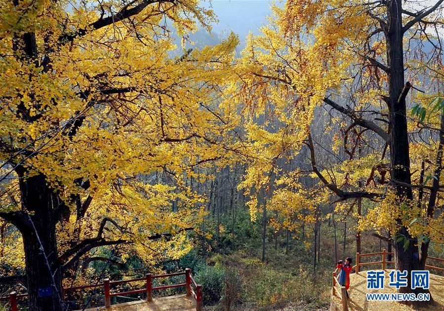 <br/>   11月1日,游客在河南省嵩县白河乡下寺村古银杏树下拍摄秋景。<br/>