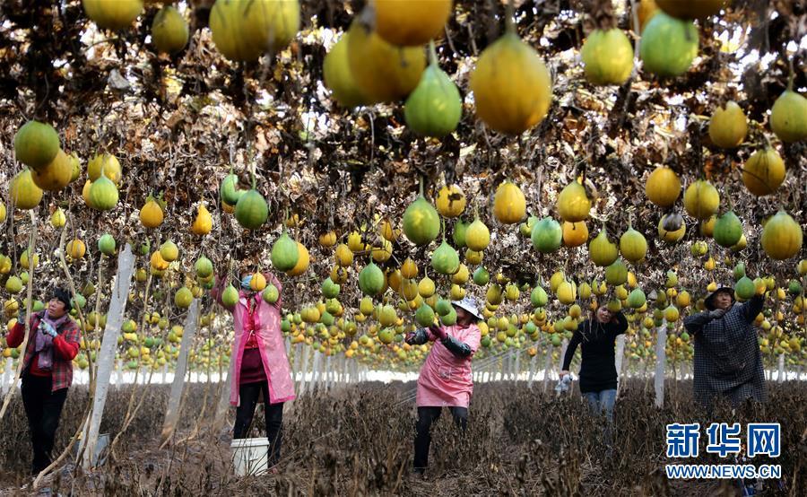 <br/>  初冬时节,山东省枣庄市西集镇1000余亩栝楼迎来收获季,农民忙着采摘、加工晾晒。<br/>