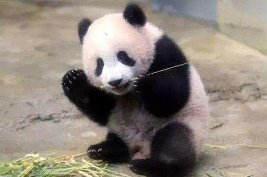 """日本出生大熊猫""""香香""""尝试独立生活"""