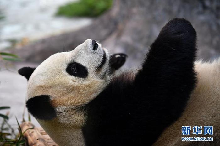 11월 25일 하이난(海南) 열대야생동식물원 판다관에서 촬영한 판다 '순순(舜舜)'의 모습이다. [촬영/신화사 궈청(郭程) 기자]