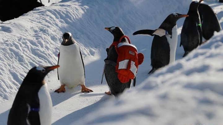 冰城哈尔滨 企鹅玩雪萌
