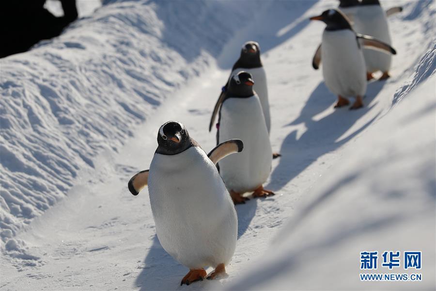 <br/>  12月24日,雪后的冰城哈尔滨空气清新,哈尔滨极地馆的企鹅来到室外活动,萌萌的样子吸引游客驻足观赏。<br/>