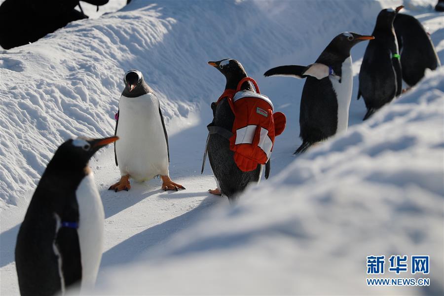 <br/>  企鹅萌萌的样子吸引游客驻足观赏。