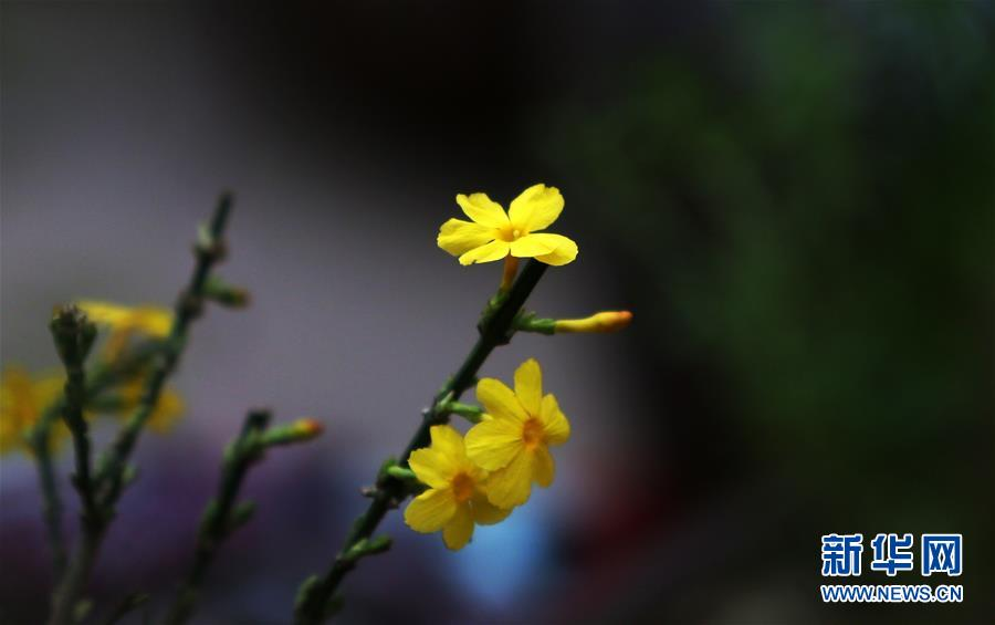 12月26日在山东省临沂市郯城县一花卉市场的温室内拍摄的迎春花盆景局部。<br/>