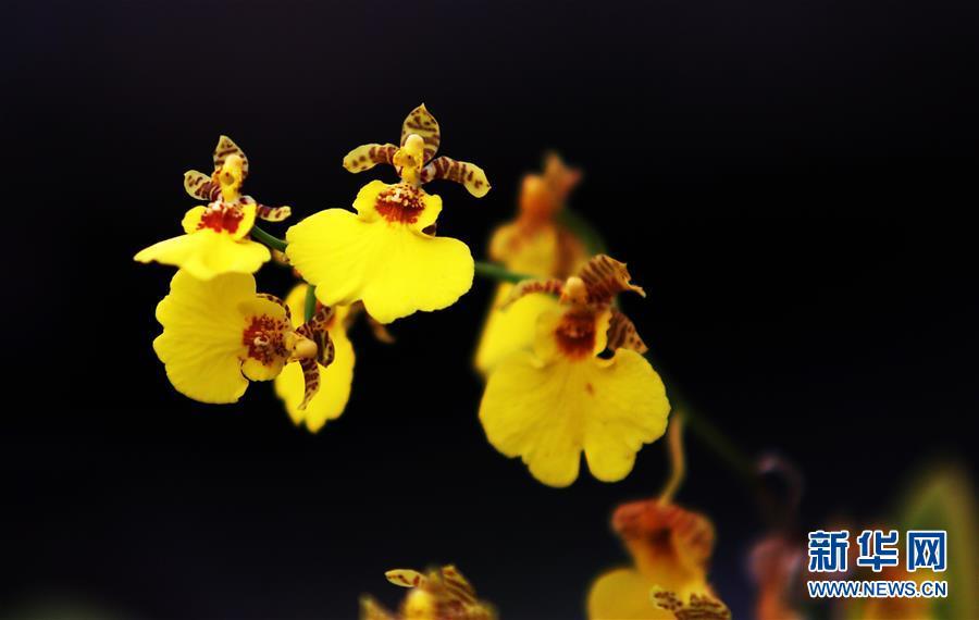 12月26日在山东省临沂市郯城县一花卉市场的温室内拍摄的跳舞兰。<br/>