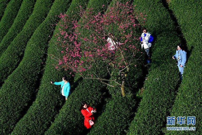 1월 24일 관광객들이 태품 벚꽃녹차밭에서 벚꽃을 감상하고 있다.<br/>