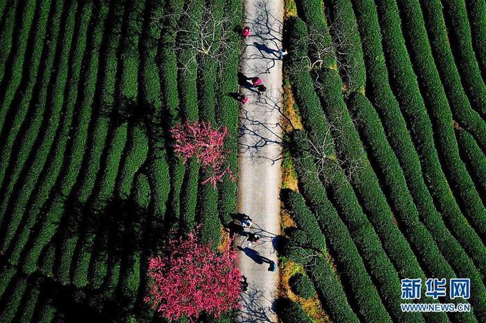 1월 24일 관광객들이 태품 벚꽃녹차밭을 거닐고 있는 모습이다.