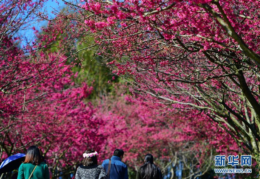 <br/>   1月24日,游客在台品樱花茶园欣赏樱花景色。<br/>