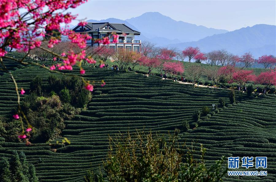 <br/>   1月24日,游客在台品樱花茶园里游玩。