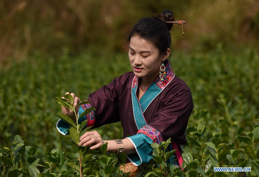 <br/>A tea farmer picks tea leaves at Zhouya Village of Doujiang Township in Sanjiang Dong Autonomous County, south China's Guangxi Zhuang Autonomous Region, Feb. 3, 2019. The local spring tea goes on market every year before and after &quot;Lichun&quot;, literally meaning the beginning of the spring. Lichun is the first of the 24 solar terms of the Chinese lunisolar calendar, which falls on Feb. 4 this year. (Xinhua/Gong Pukang)<br/>
