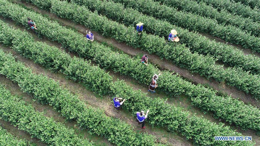 <br/>Aerial photo taken on Feb. 3, 2019 shows tea farmers picking tea leaves at Zhouya Village of Doujiang Township in Sanjiang Dong Autonomous County, south China's Guangxi Zhuang Autonomous Region. The local spring tea goes on market every year before and after &quot;Lichun&quot;, literally meaning the beginning of the spring. Lichun is the first of the 24 solar terms of the Chinese lunisolar calendar, which falls on Feb. 4 this year. (Xinhua/Gong Pukang)<br/>