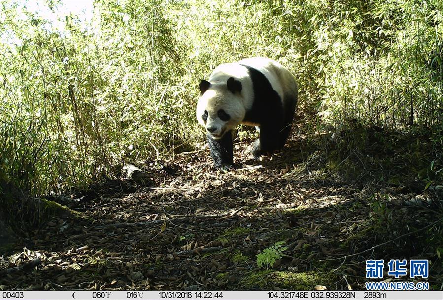保護区内の赤外線カメラに写ったジャイアントパンダ。(2018年10月31日撮影)(隴南=新華社配信)<br/>  【新華社隴南2月6日】中国甘粛省白水江国家級自然保護区でこのほど、2018年分の赤外線カメラ映像を整理していた際に、野生のジャイアントパンダ、ターキン、キンシコウなど複数種類の野生動物が頻繁に現れる映像が確認された。同保護区では昨年、赤外線カメラ700台を設置し、さまざまな野生動物の動画8350本以上、写真1万5800枚以上を撮影した。また、モニター映像の分析により、野生のパンダなど絶滅危惧種の活動状況や個体群の分布をほぼ把握し、野生動物の個体群が17年と比べ、着実に増加していることが分かった。<br/>
