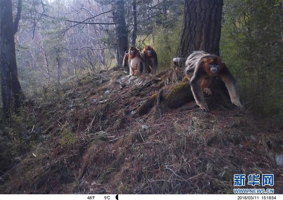 保護区内の赤外線カメラに写ったキンシコウ。(2018年3月11日撮影)(隴南=新華社配信)<br/>