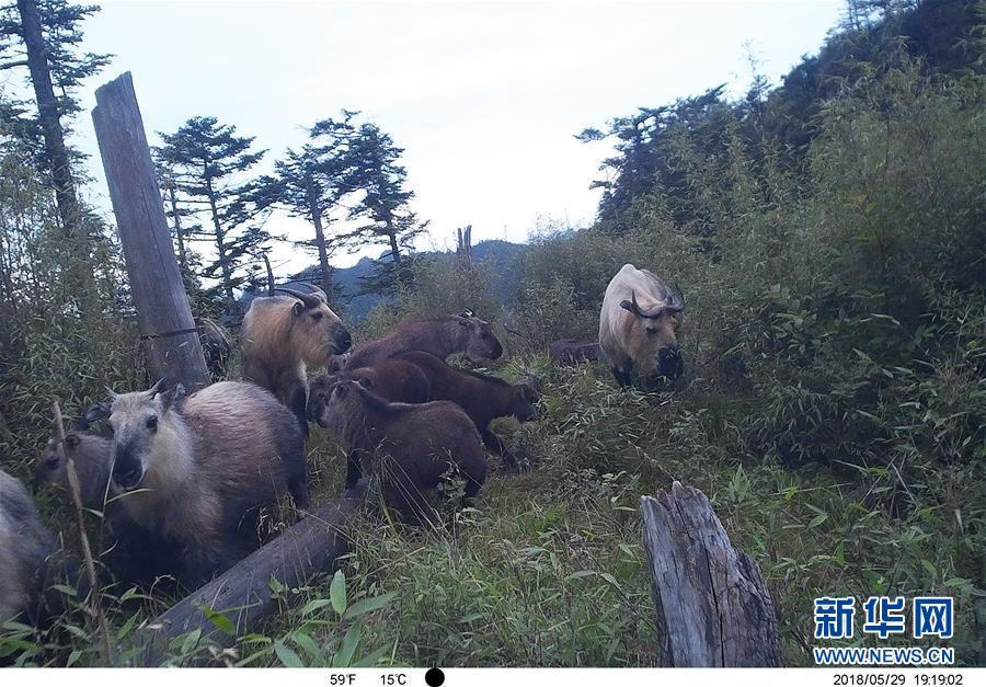 保護区内の赤外線カメラに写ったターキン。(2018年5月29日撮影)(隴南=新華社配信)<br/>