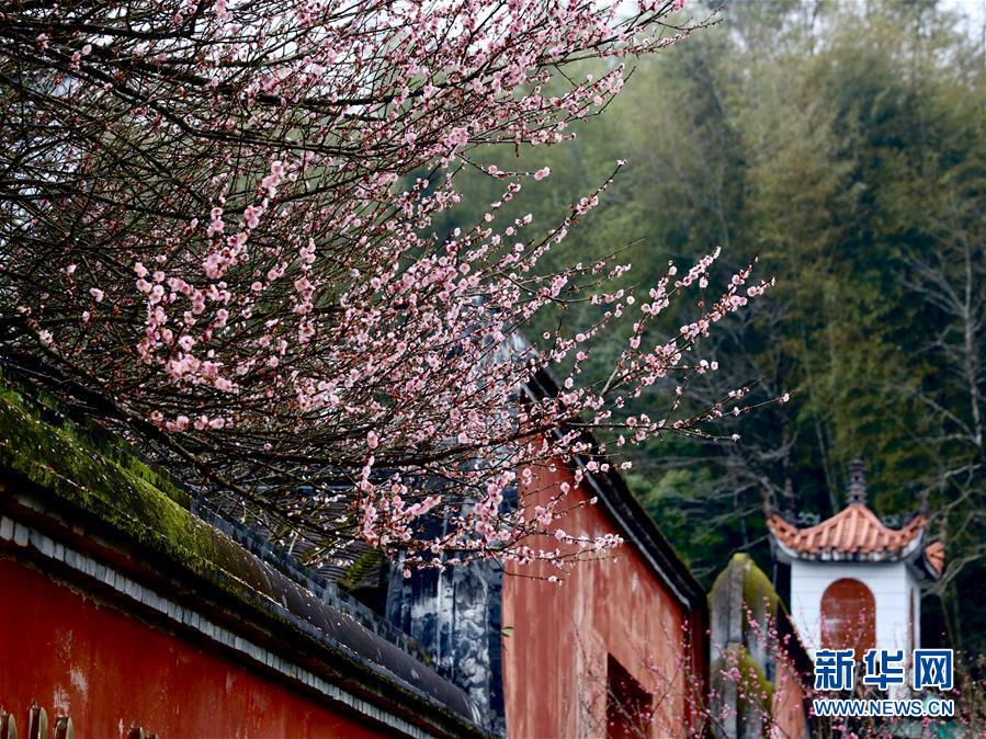 <br/>   2月10日,福州林阳寺内梅花盛开。