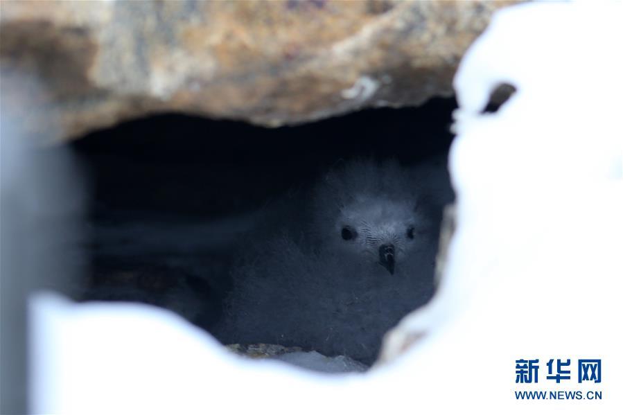 남극 중산(中山) 기지 인근 절벽 사이에서 촬영한 바다제비 새끼 [2월 11일 촬영/신화사 류스핑(劉詩平) 기자]<br/>  중국 제35차 남극 탐사대가 남극 바다제비 조사에 처음으로 적외선 카메라 등 첨단 기술을 적용해 번식 및 생태 습성을 조사했다.<br/>