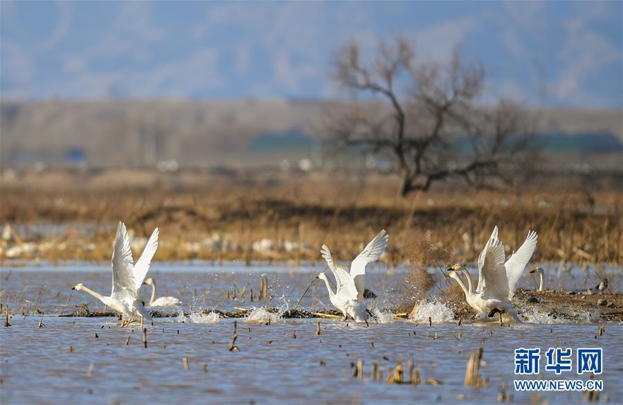 这是3月12日在内蒙古鄂尔多斯市达拉特旗境内的黄河沿线湿地拍摄的天鹅。 随着天气转暖,冰雪消融,内蒙古鄂尔多斯市达拉特旗境内黄河沿线湿地中栖息的天鹅成为早春时节一道亮丽的风景线。<br/>