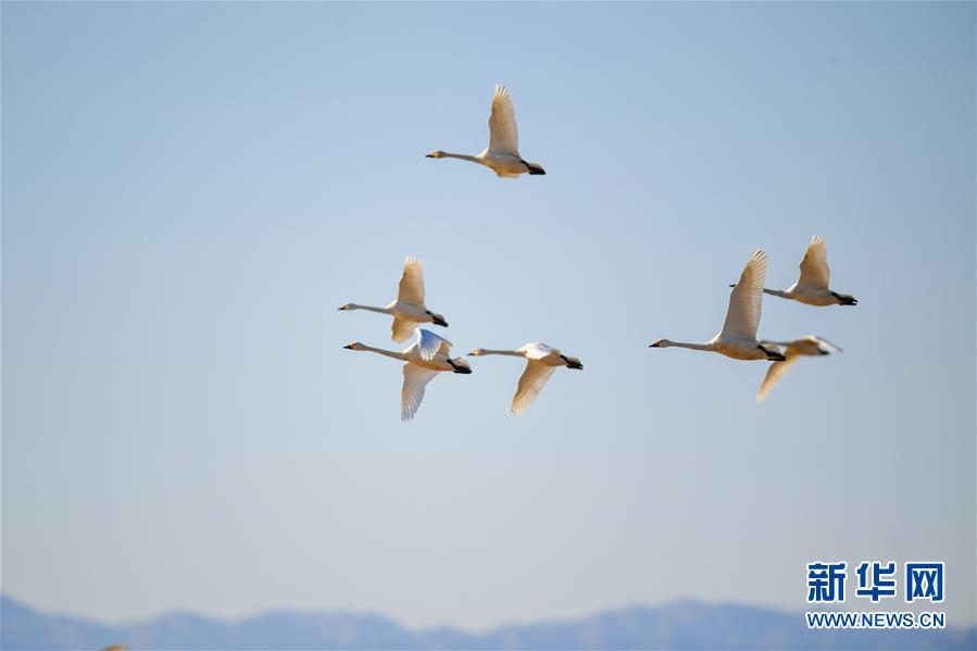 <br/>   3月12日,天鹅在内蒙古鄂尔多斯市达拉特旗境内的黄河沿线湿地上空飞翔。