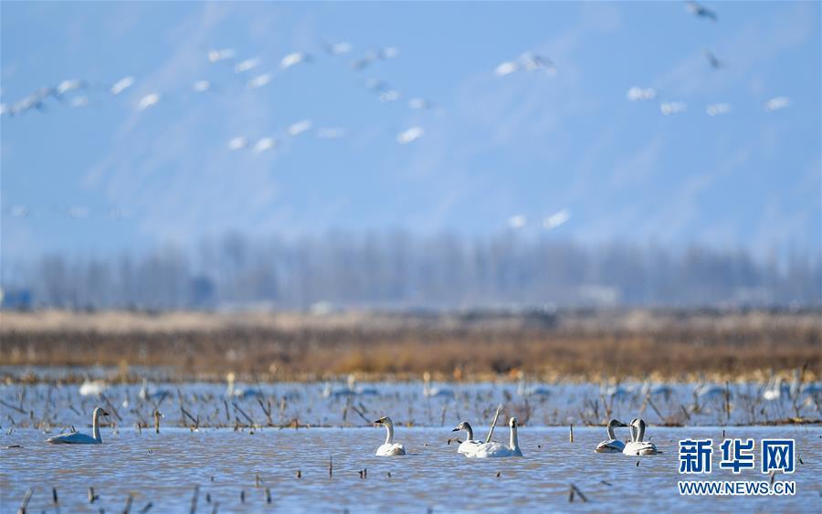 <br/>   这是3月12日在内蒙古鄂尔多斯市达拉特旗境内的黄河沿线湿地拍摄的天鹅。<br/>