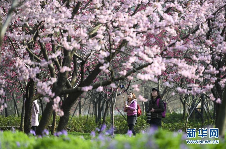 (社会)(1)武汉东湖樱花节开幕