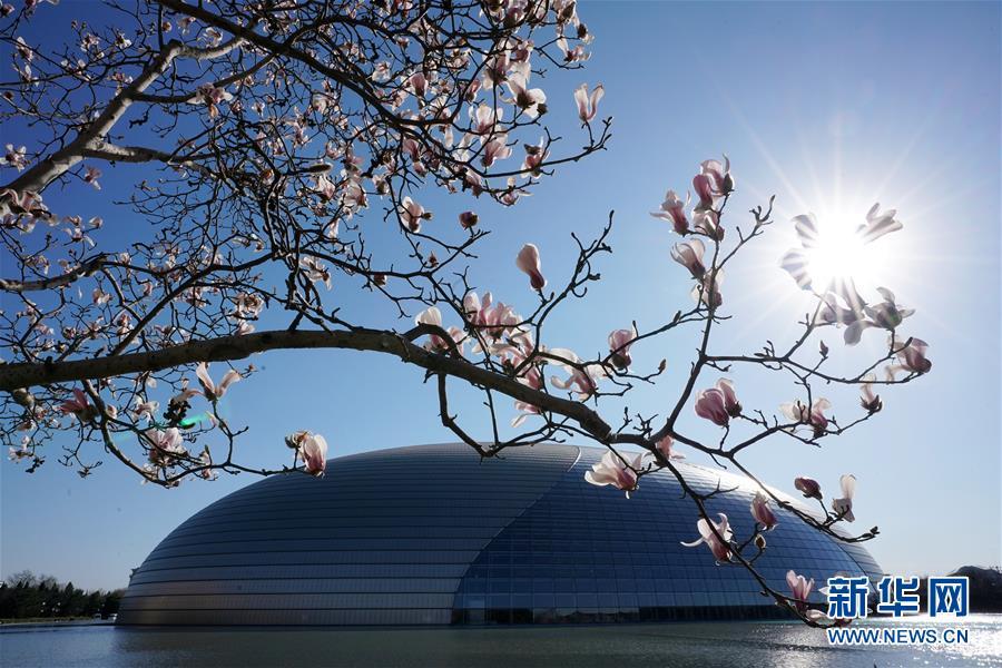 3월12일, 국가대극원 옆 화단에서 목련화가 활짝 피었다. 최근, 기온이 상승하면서 베이징 거리에서 여러 봄꽃이 잇따라 망울을 터트리고 있다. <br/>