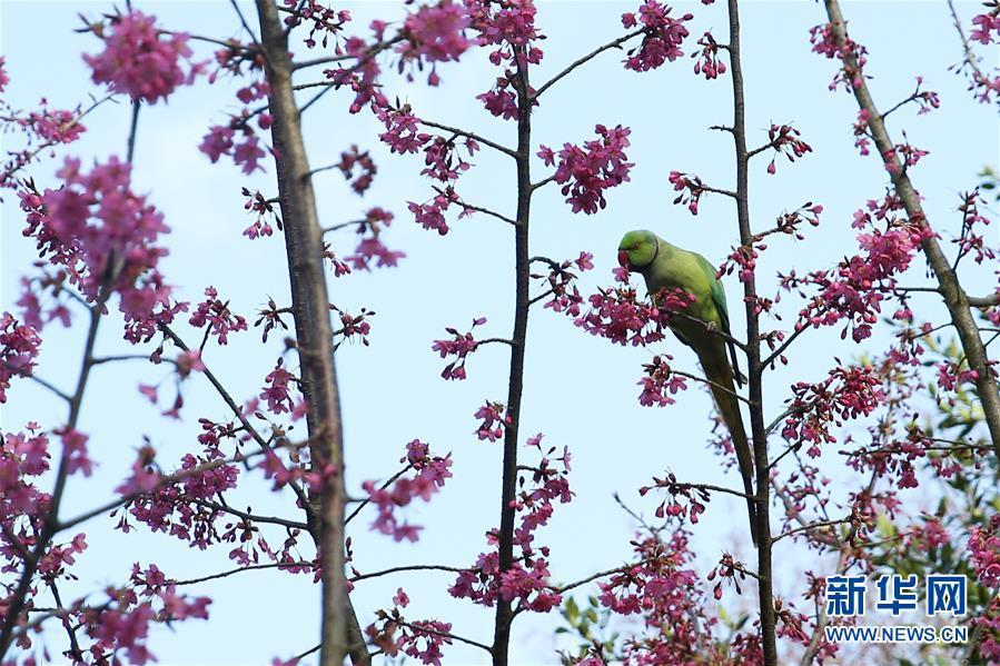 <br/>   3月14日,在比利时布鲁塞尔五十周年纪念公园,一只鹦鹉啄食花蜜。