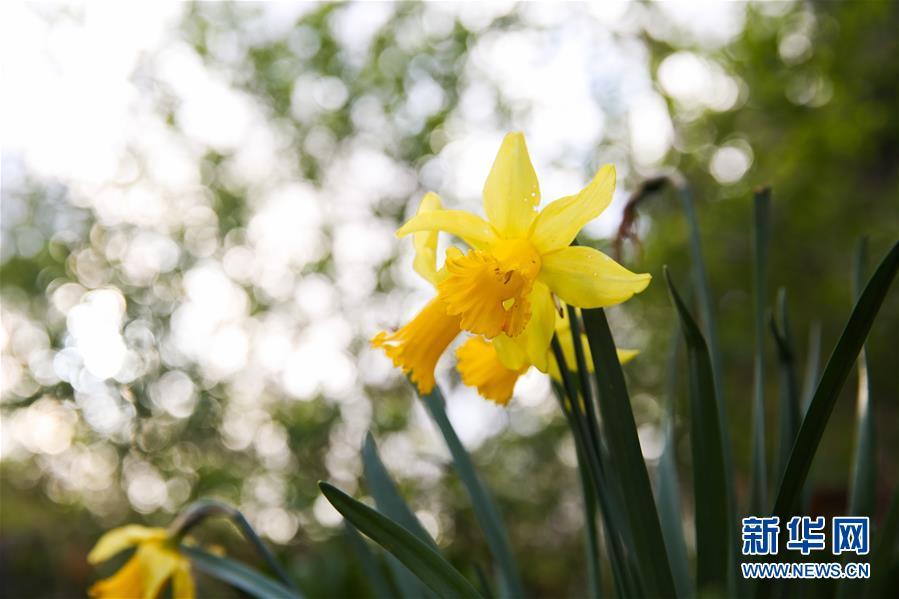 <br/>   这是3月14日在比利时布鲁塞尔五十周年纪念公园拍摄的黄水仙。<br/>