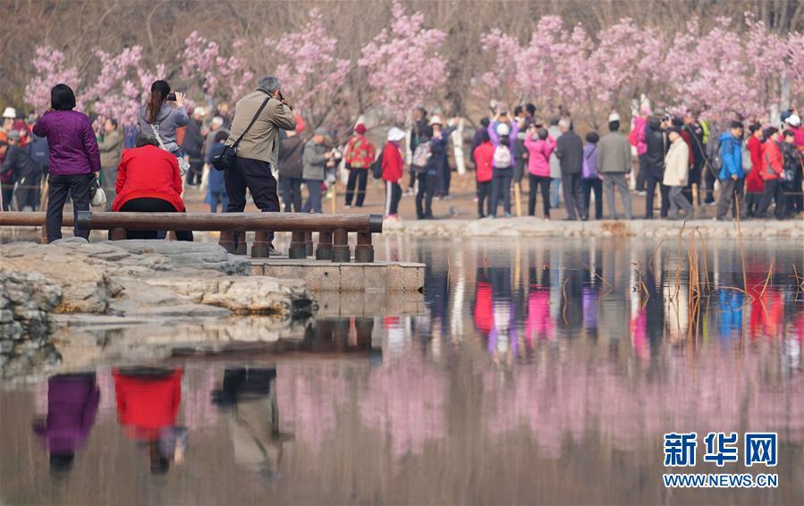 3月19日,游客在玉渊潭公园赏樱。当日,北京玉渊潭公园第31届樱花文化活动正式开幕。今年玉渊潭公园可供游客观赏的品种接近40个,园内早、中、晚樱共计3000余株将次第绽放。<br/>