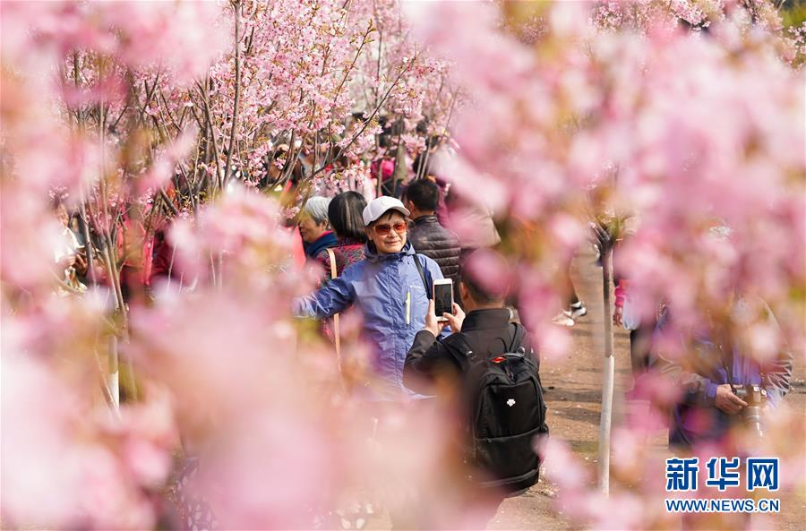 <br/>   3月19日,游客在玉渊潭公园的樱花树下拍照。