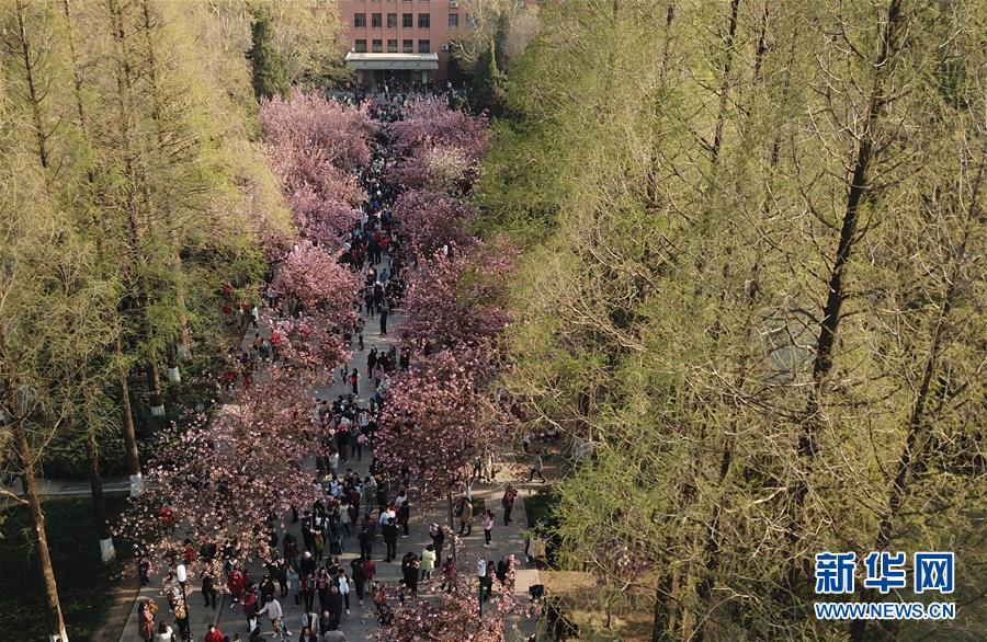 3月31日,游客在中国科学技术大学东区观赏樱花(无人机拍摄)。近日,位于安徽合肥的中国科学技术大学校园内樱花竞相开放,吸引众多游客和市民前来观花赏景。<br/>