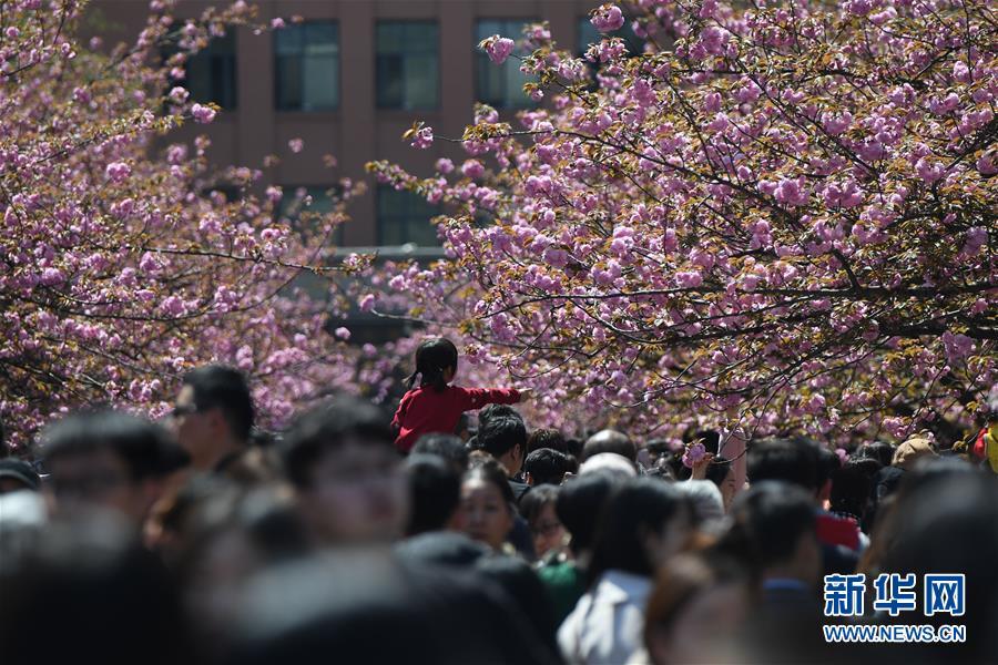 <br/>   3月31日,游客在中国科学技术大学东区观赏樱花。