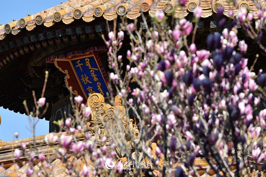 지난 2일 기온이 상승하면서 베이징에 맑은 날씨가 이어졌고 봄 향기를 맡기 위해 고궁(故宮)을 찾는 사람들이 줄을 이었다. 정향나무, 백목련, 배꽃, 해당화 등 봄꽃은 개화기에 접어들며 활짝 피기 시작했고 고궁에 봄 향기를 전했다. [촬영: 인민망 웡치위(翁奇羽) 기자]<br/>