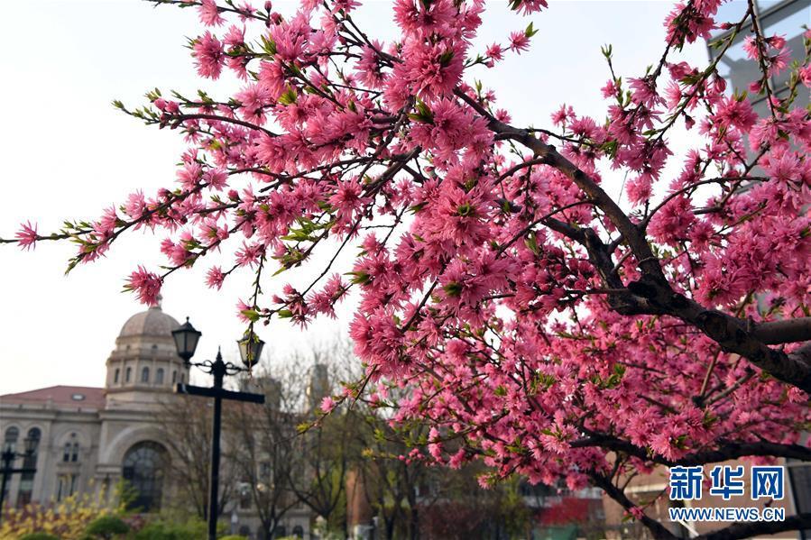 4월8일 촬영한 톈진(天津) 우다다오(五大道) 관광지의 모습. 4월, 톈진 우다다오서 봄꽃이 만개하며 아름다운 장관을 연출했다.<br/>