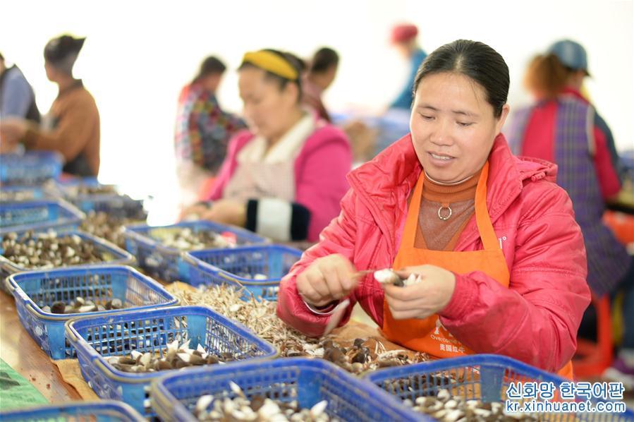 <br/>  4월17일, 구이저우성 첸둥난 먀오족둥족자치주 젠허(劍河)현 청베이(城北) 이주민 주택단지 &amp;lsquo;커뮤니티 취업센터&amp;rsquo;의 식용균 버섯 깎기 작업장에서 38세의 먀오족 여성 쑹쓰메이(오른쪽)가 버섯을 깎고 있다. 2017년 이후 구이저우성 첸둥난 먀오족둥족자치주 젠허현은 빈곤퇴치 사업을 하면서 산업사슬 발전을 통해 이주민들의 취업을 촉진했다. 이 가운데 식용균산업단지는 약6000개의 일자리를 마련했다. 일자리 알선 서비스를 위래 젠허현은 식용균 깎기 작업장을 이주민 주택단지로 옮겨 이주민들이 집 앞에서 취업할 수 있도록 했다. 현재 젠허현 청베이 &amp;lsquo;커뮤니티 취업센터&amp;rsquo;의 식용균 깎기 작업장에는 200명이 일하고 있다. 이들의 1인당 월 평균 수입은 2000여 위안에 이른다. 젠허현은 앞으로 현성의 모든 이주민 주택단지에 빈곤지원 작업장을 도입해 이주민들이 집 앞에서 취업하도록 도울 계획이다. [촬영/신화사 기자 양잉(楊楹)]<br/>