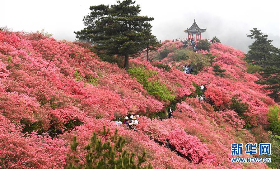 <br/>   4月25日,游客在龟峰山杜鹃花海中游玩。