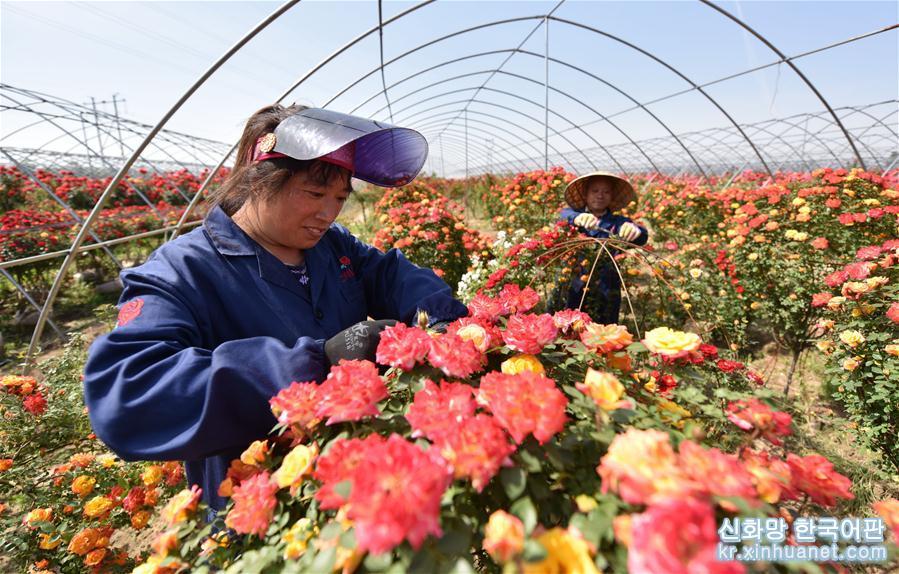 최근 몇년 간, 허베이(河北)성 딩저우(定州)시는 시장 수요에 따라 농민들을 지도하여 고효율 화초산업을 발전시킴과 동시에, '온라인'과 '오프라인'을 결합한 영업모드를 통해 양호한 경제효익을 거두었다. 현지 화초 제품은 지금 주변 현 뿐만 아니라 베이징, 톈진(天津) 등 지역의 화초시장에도 진출했고 도시와 농촌을 아름답게 장식함과 아울러, 농민에게 부를 가져다 주는 특색산업으로 되었다. [촬영/ 신화사 기자 주쉬둥(朱旭東)]