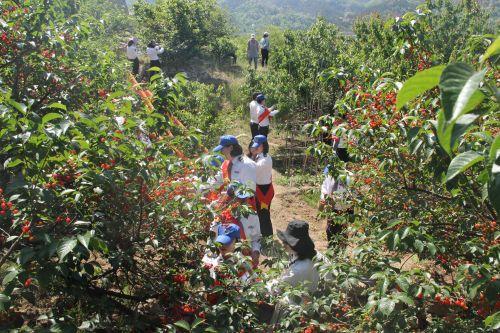 馨飞扬志愿者帮困难老人摘樱桃