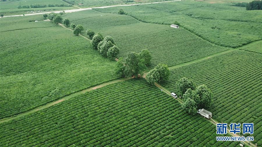 <br/>   5月19日无人机拍摄的羊艾茶园风光。 初夏时节,位于贵州省贵安新区的羊艾茶园风景如画。 新华社记者 欧东衢 摄<br/>
