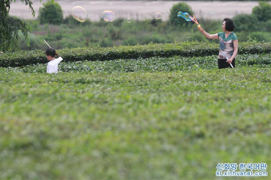 초여름, 구이저우서 구이안신구에 있는 양아이 차밭은 초록 물결의 향연을 펼치고 있다. [촬영/신화사 기자 어우둥취(歐東衢)]