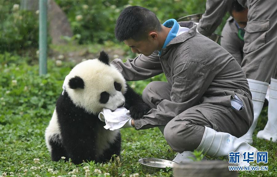 <br/>   5月26日在中国大熊猫保护研究中心卧龙神树坪基地的&ldquo;熊猫幼儿园&rdquo;内拍摄的大熊猫。<br/>  新华社记者 薛玉斌 摄<br/>