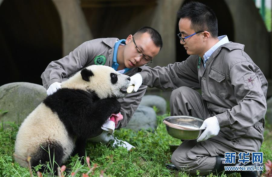 <br/>   5月26日在中国大熊猫保护研究中心卧龙神树坪基地的&ldquo;熊猫幼儿园&rdquo;内拍摄的大熊猫。<br/>  新华社记者 薛玉斌 摄
