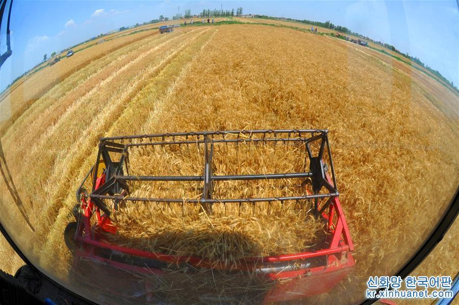 6월 10일, 난피(南皮)현 우마잉(烏馬營)촌 농민이 밀을 수확하고 있다. 지금이 바로 &lsquo;발해곡창 과학기술 시범 프로젝트&rsquo; 구역에 자리한 허베이(河北)성 난피현의 밀 수확 계절이다. 현지 농민들은 좋은 날씨에 밀알 한 톨도 빠짐없이 수확해 창고에 넣고있다. [촬영/ 신화사 기자 무위(牟宇)]<br/>
