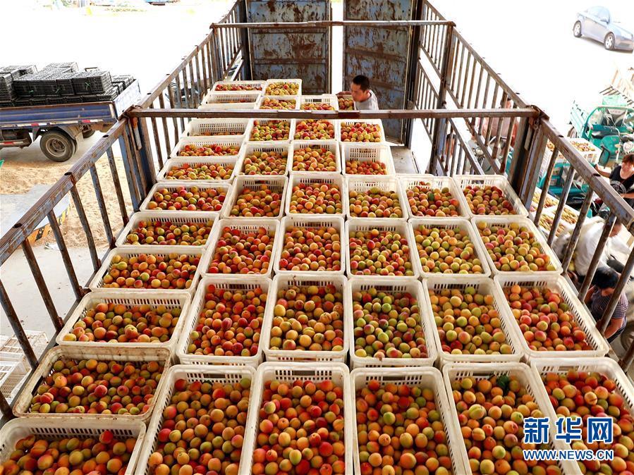 <br/>   6月15日,在河北省巨鹿县一家鲜杏收购点,客商将红杏装车准备外运。新华社记者 牟宇 摄