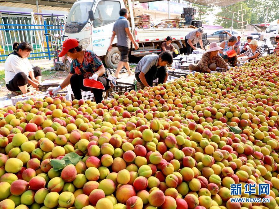 <br/>   6月15日,农民在河北省巨鹿县一家鲜杏收购点内将红杏装箱。新华社记者 牟宇 摄<br/>
